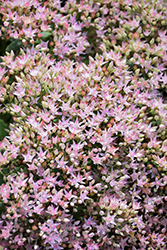 Rock 'N Round™ Pure Joy Stonecrop (Sedum 'Pure Joy') at TERRA